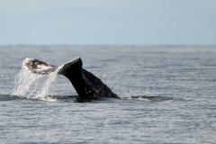 Grey-Whale-Fluke
