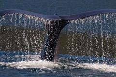 Humpback-Dive