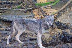 Beach Wolf