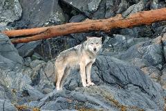 Coastal-Wolf