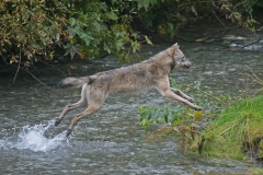 Flying-Wolf