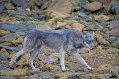 Ochre Wolf