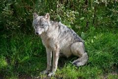 Sitting-Wolf