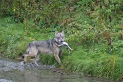 Two Salmon Wolf