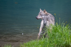 Blue Lagoon Wolf
