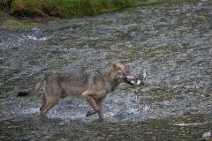Wolf-and-Salmon