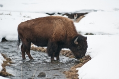 Bison in a Creek