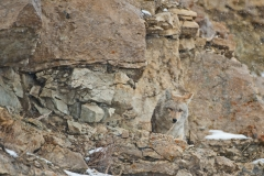 Cliff-face Coyote