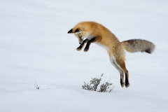 Leaping Fox 2