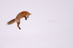 Leaping-Fox-3