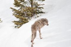 Skinny Wolf 2