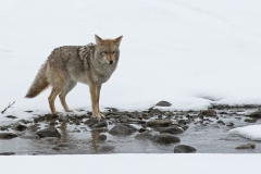 Snowy Creek Coyote