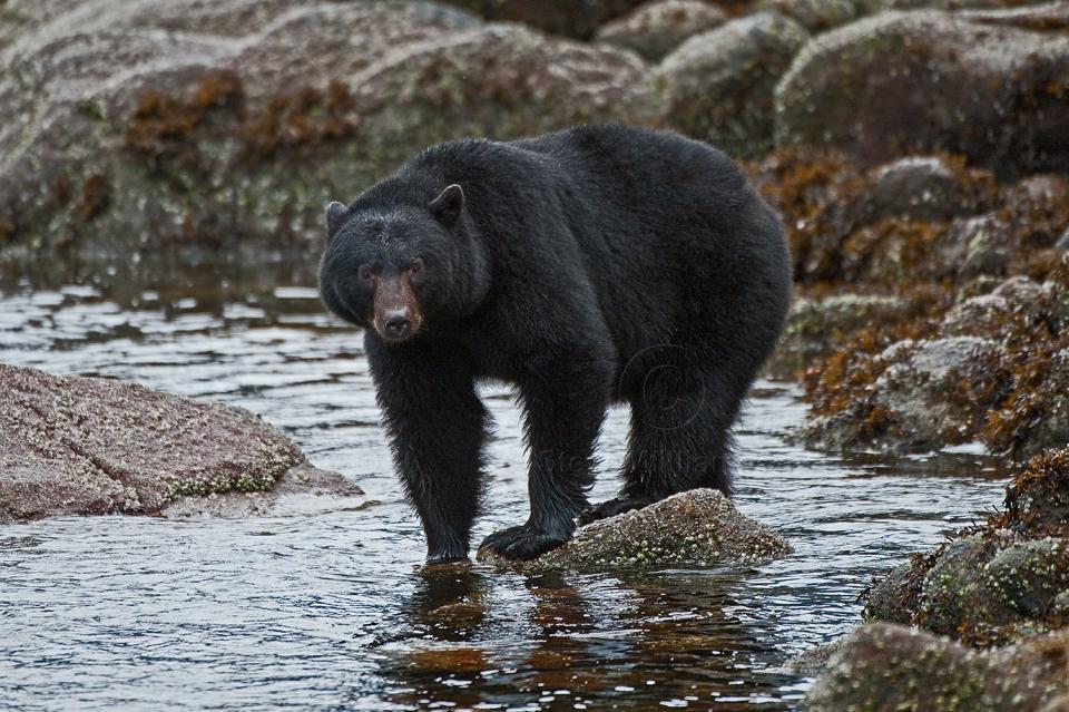 Coastal-Black-Bear2.jpg