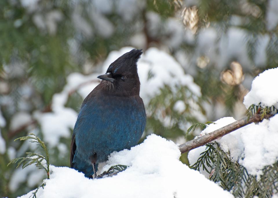 Snowy-Jay.jpg