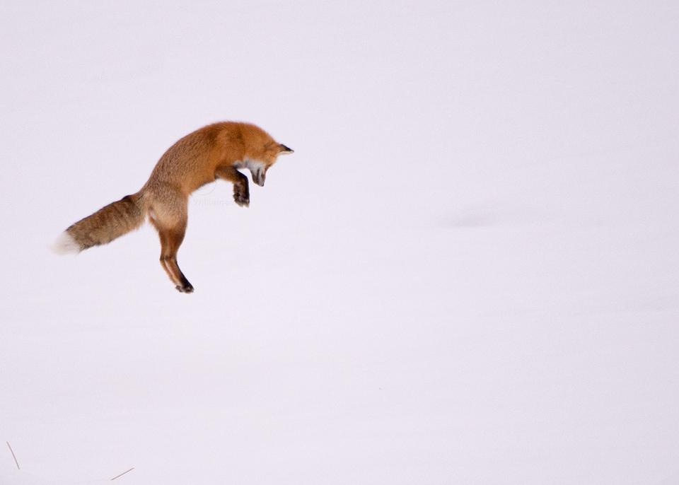 Leaping-Fox-3