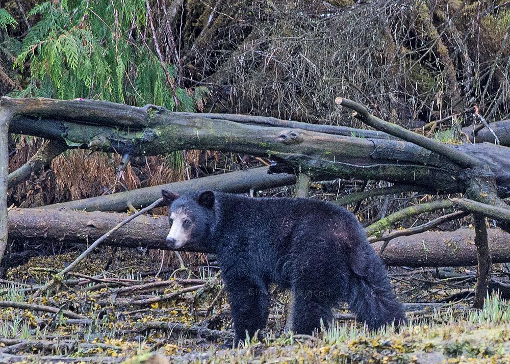 White-Faced-Black-Bear.jpg