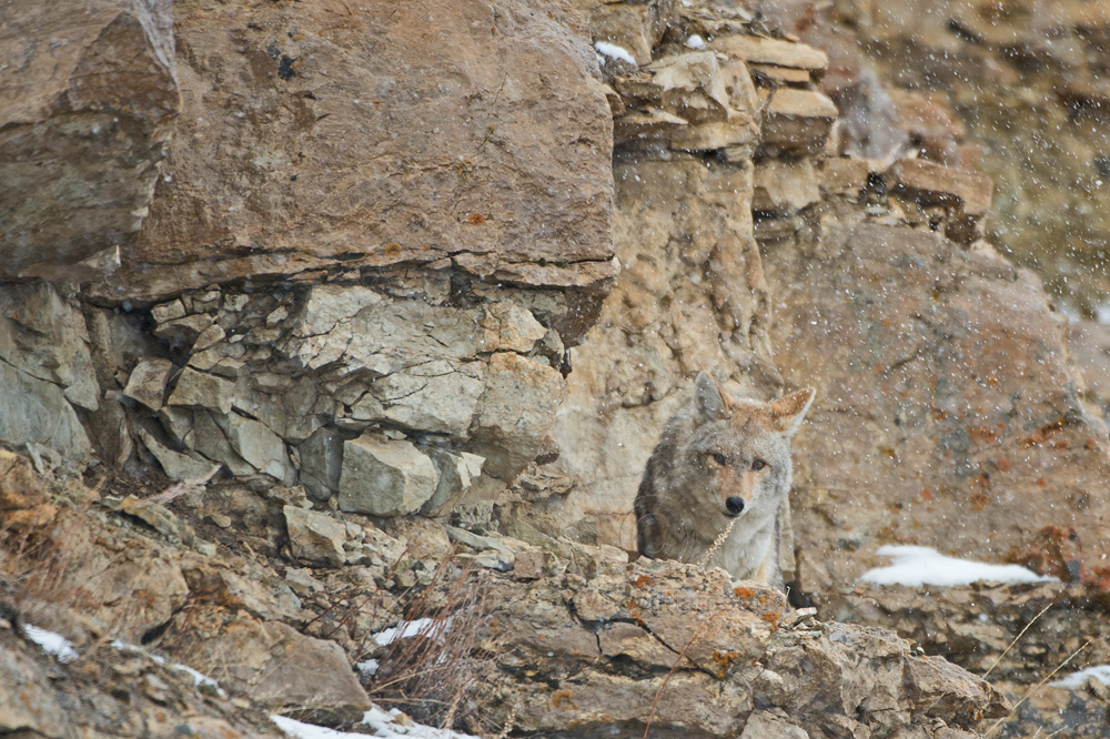 Cliff-Face-Coyote.jpg