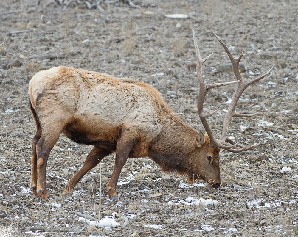 Yellowstone-Elk.jpg