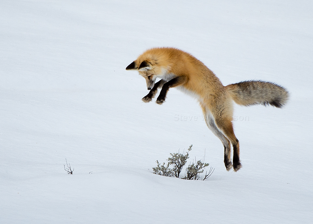 Fox On The Move