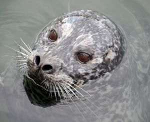 Harbour Seal Portrait