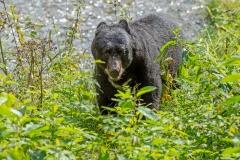 Black Bear in the Bush 2