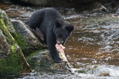 Cub-and-Salmon