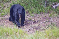 Black Bear - Jasper 2015