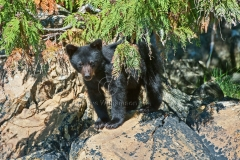 Little-Black-Cub