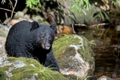Riverside-Black-Bear