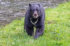Smiling Black Bear
