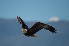Eagle Prince