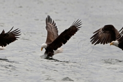 Fishing-Eagle