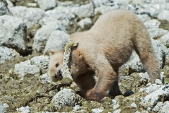 Barnacle Bear