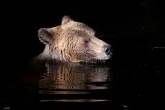 Forlorn-Bear