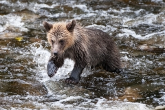 Grizzly-Cub-Fishing