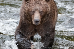 Male-Grizzly