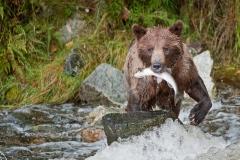 Salmon-Bear