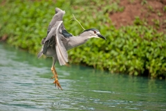 Dancing Night Heron