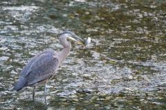Fishing-Heron
