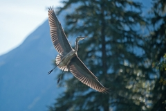 Heron-in-to-Landing