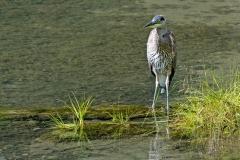 Young-Heron
