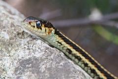 Garter Snake 3