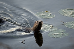 A River-Otter