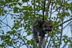 Baby-Racoon