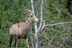 Female-California-Bighorn-Sheep