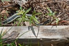 Garter-Snake-2