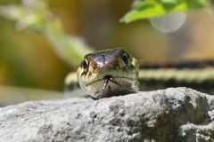Garter Snake Portrait