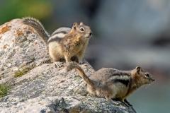 Ground Squirrel Pair