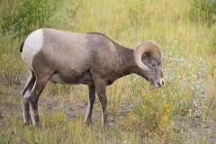 Hungry Sheep
