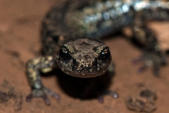 Salamander Portrait 2